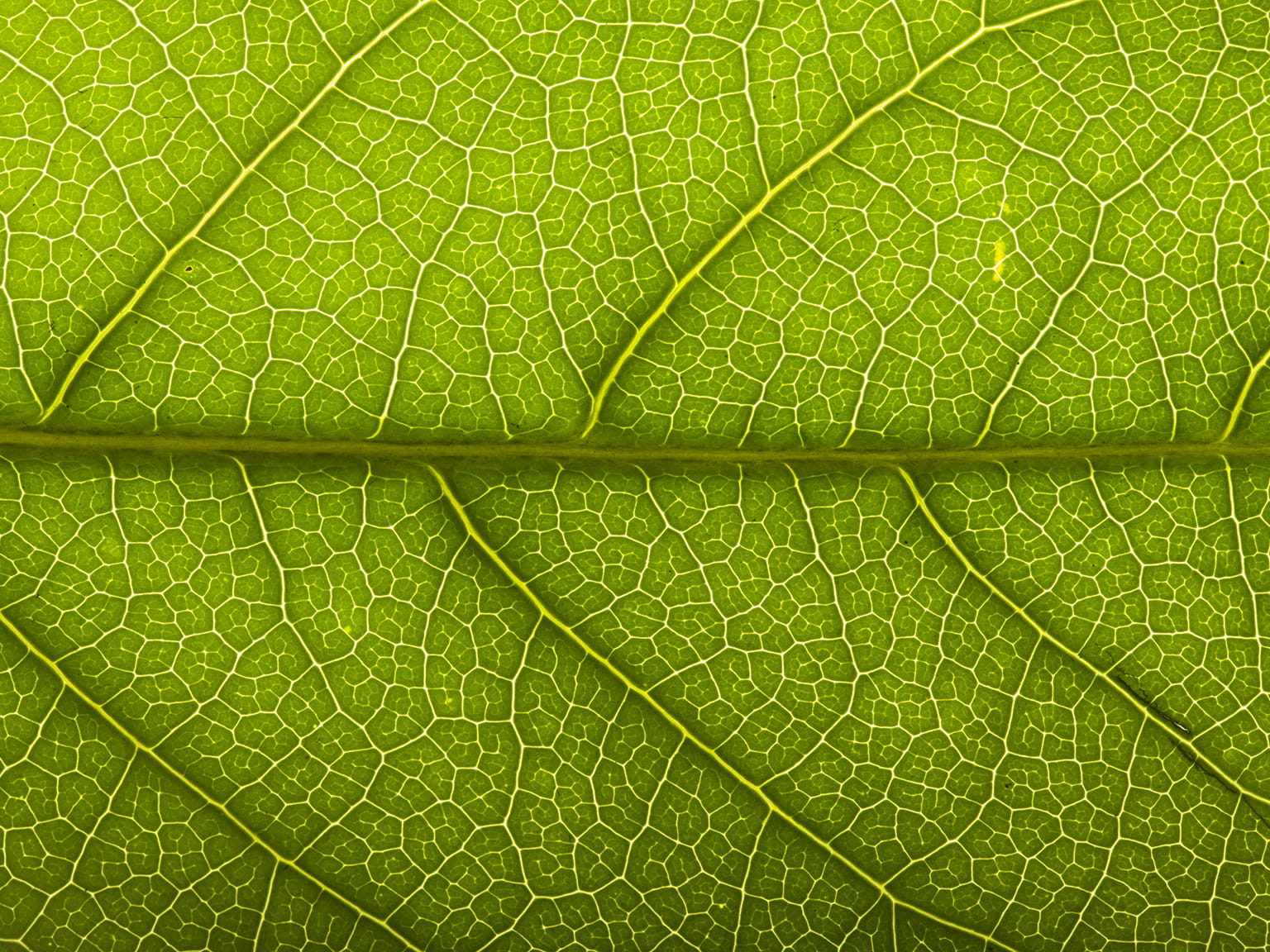 Grønt blad close-up